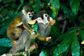 Squirrel monkey in amazon rainforest Royalty Free Stock Photos