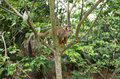 Squirrel monkey amazon on a tree Stock Images