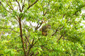 Squirrel monkey amazon on a tree Royalty Free Stock Photography