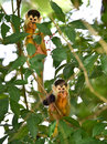 Squirrel monkey babies in tree, carate, golfo dulce, costa rica Royalty Free Stock Photo