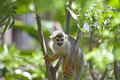 Squirrel monkey a common playing in the trees Stock Image