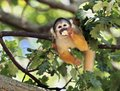 Squirrel monkey eating in a tree saimiri sciureus Stock Photos