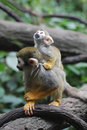 Squirrel Monkey Family with a Mom and Baby
