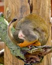Squirrel monkey hiding young from having his photo taken Royalty Free Stock Photo