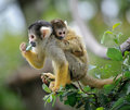 Squirrel monkey with its baby Royalty Free Stock Photo