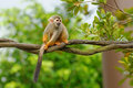 Squirrel monkey in its habitat Royalty Free Stock Images