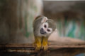 The squirrel monkey its scientific name is called cute it with big eyes looking at me i think it may be hungry Royalty Free Stock Photos