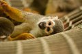 Squirrel monkey a lying arround Stock Photo