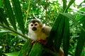 Squirrel monkey in manuel antonio national park c costa rica Stock Photo