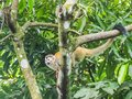 Squirrel Monkey in the trees  Views around Costa Rica