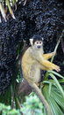 Squirrel monkey in palm fruit tree in London zoo Royalty Free Stock Photo