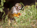 Squirrel Monkey Saimiri Hunting for Food ! Royalty Free Stock Photo