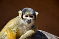 Squirrel monkey sitting on the rock Royalty Free Stock Image