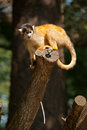 Squirrel monkey in tree Royalty Free Stock Photos