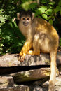 Squirrel monkey in tree Royalty Free Stock Photo