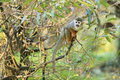 Squirrel monkey the on the tree Royalty Free Stock Photography