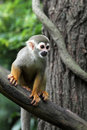 Squirrel monkey on tree image of wild Stock Photography
