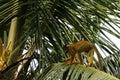 Squirrel Monkeys In Madidi  Na...