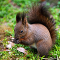 Squirrel in natural habitat Royalty Free Stock Photo