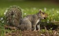 Squirrel with nut in mouth a grey standing Stock Photography
