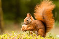Squirrel with nut on sump moss Stock Photo