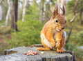 Squirrel with nuts and summer forest on background wild nature thematic sciurus vulgaris rodent Royalty Free Stock Photo
