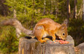 Squirrel with nuts and summer forest on background wild nature thematic sciurus vulgaris rodent Stock Photos