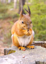 Squirrel with nuts and summer forest on background wild nature thematic sciurus vulgaris rodent Stock Image