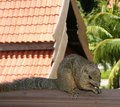 Squirrel in pulau redang malaysia is taken Royalty Free Stock Photo