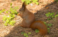Squirrel Red Fur Funny Pets Sp...