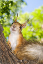 Squirrel red sitting on a tree trunk Royalty Free Stock Images