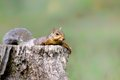 Squirrel relaxing on a stump in stupinigi turin italy Stock Photo