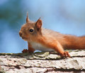 Squirrel Resting Royalty Free Stock Photo