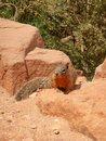 Squirrel on rock the bright angel trail grand canyon Royalty Free Stock Photo