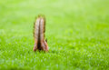 Squirrel s tail in the grass hiding nuts Stock Photography