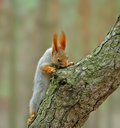 Squirrel ( Sciurus ) Stock Photos