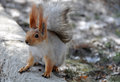Squirrel sciurus vulgaris with a bushy tail and tufts on the ears Stock Image