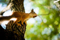 Squirrel siting on branch Royalty Free Stock Photography
