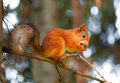 Squirrel siting on branch Royalty Free Stock Images