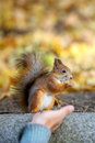 The squirrel sits and eats a cedar nut in city park Stock Images