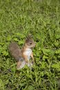 The squirrel sits in a grass red costs on hinder legs green Stock Images