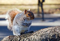 Squirrel sits on the root Stock Images