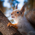 Squirrel the sits on a tree trunk and holds a nutshell in a mouth Stock Image