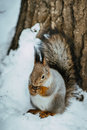 Winter gray  squirrel sits on rack