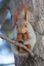 Squirrel sitting branch spruce photo treatment d mark Royalty Free Stock Images