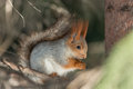 Squirrel sitting branch spruce photo treatment d mark Stock Photography