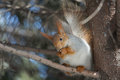 Squirrel sitting branch spruce photo treatment d mark Stock Photo