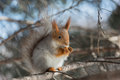 Squirrel sitting branch spruce photo treatment d mark Stock Images