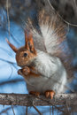 Squirrel sitting branch spruce photo treatment d mark Royalty Free Stock Image