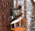 Squirrel sitting on pine tree branch Royalty Free Stock Images